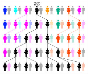 Random genetic drift - note how all female lines except one go extinct.