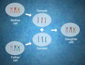 Recombination of chromosomes.