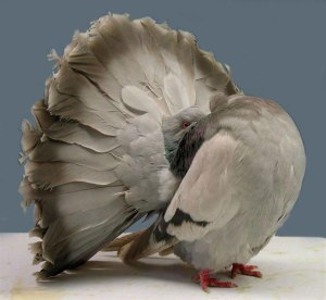 A rock dove (a.k.a. common pigeon) genetically modified into a fantail pigeon by means of artificial selection.