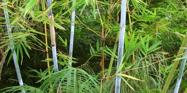 The ancient bamboo, grass of the dinosaurs.
