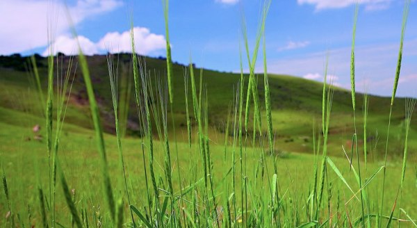 The wild wheat grass our ancestors cultivated.