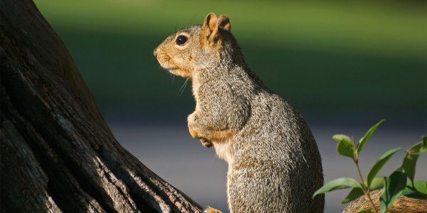 Contemplative Squirrel feeling contemplative.
